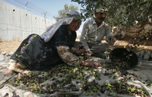 TOPSHOTS-MIDEAST-ISRAEL-PALESTINIAN-BARRIER-OLIVES